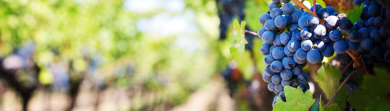 Rode Wijn Druif Wijngaard