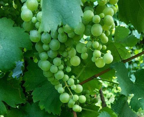 Prosecco-glera-italiaanse-wijn-tastemorewine